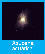 Azucena acuatica